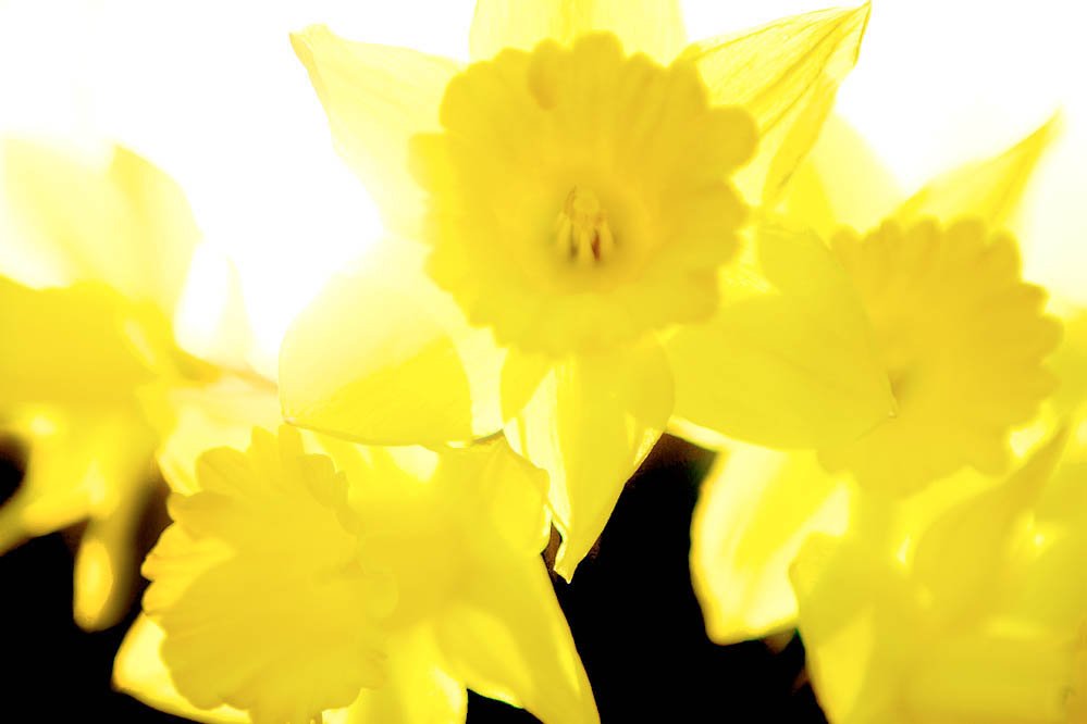 Daffodils2 picture photo